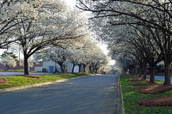 Spring flowering trees in Charlotte Royalty Free Stock Photography