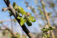 Spring flowering trees. Royalty Free Stock Photo