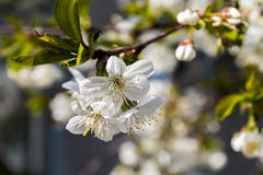 Spring flowering trees. Stock Image