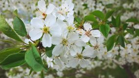 Spring flowering of trees in the park, slow motion stock footage