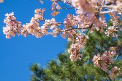Spring flowering of trees. Sky against a background of flowers, pink flowers Royalty Free Stock Images
