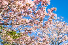 Spring flowering of trees. Sky against a background of flowers, pink flowers Stock Photography