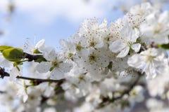 Spring flowering trees Royalty Free Stock Photos