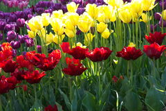 Bright colors of spring tulips during flowering,yellow, red, purple, pink ...... Spring flowering of tulips, hundreds of bright colors on flowers in the park Royalty Free Stock Image