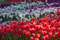 White, red, purple blooming tulip. Spring flowering of tulips, hundreds of bright colors on flowers in the park. Kiev, Ukraine Stock Photography