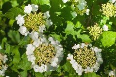 Spring flowering of viburnum. Flowering of viburnum on june Royalty Free Stock Photography