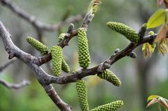 Spring flowering walnut. On a blurry background royalty free stock photo