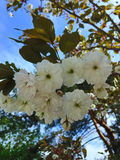 White Japanese Sakura Flowers. Spring flowering of white sakura in the park Stock Images