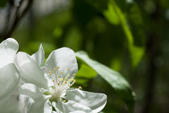 Spring flowering wild cherry in springtime stock photography