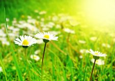 Spring Flowers. White Flowers on the Spring Meadow in Bright Sunlight Royalty Free Stock Photos