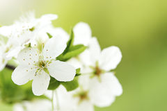 Spring flowers. Beautiful white tree flowers in spring Stock Photo