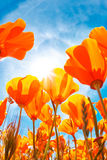 Spring Flowers. Beautiful Vibrant Spring Flowers, Macro View looking up towards sunny Blue Sky Stock Images