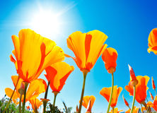 Spring Flowers royalty free stock photo