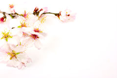 Spring flowers. With white background Royalty Free Stock Image