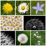Spring Flowers. Collage of spring flowers - dandelion, moon-flower, bell flower, daisy and lily of the valley Stock Photo
