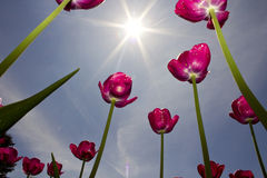 Spring Flowers. Tulips reaching for the sun in spring Stock Photography