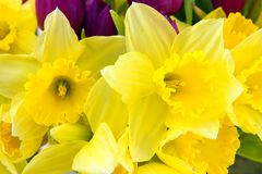Spring flowers. Bright yellow daffodils with purple tulips in the background Royalty Free Stock Images