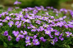 Spring flowers. Violet alpine plant Stock Photography