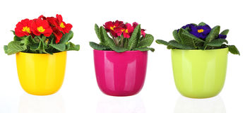 Spring flowers. In flowerpots, isolated on white background royalty free stock photo