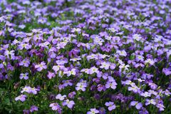 Spring flowers. Violet alpine plant Stock Photos