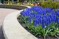 Spring Flowers. Hyacinth lines the foreground of a path filled with beautiful spring flowers Royalty Free Stock Photos
