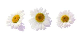 Spring flowers. White spring flowers with shadows on white background Royalty Free Stock Image