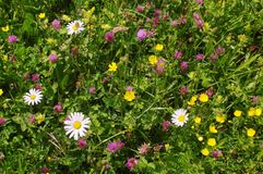 Spring flowers. Pasture spring flowers in french alps Stock Photos