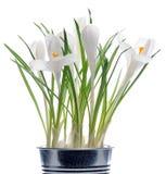 Spring flowers Stock Image