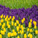 Spring flowers. Tulips and bluebells in the spring garden Royalty Free Stock Photos