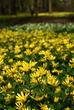 Spring flowers. Lesser celandine (Ranunculus ficaria) - a field of yellow flowers Stock Image