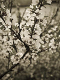 Spring flowers. Sepia tones shot of blooming cherry stock photo