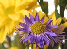 Spring Flowers. Purple and Yellow Flowers Royalty Free Stock Photos