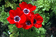 Spring flowers. Red poppy flowers stock images