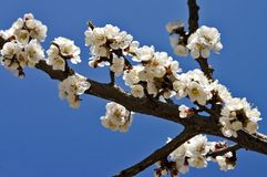 Spring flowers. Tree in spring full of flowers Royalty Free Stock Photo