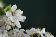 Spring flowers. White spring flowers Stock Photography