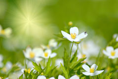 Spring Flowers. Delicate white spring flowers in a grassy field with a sunburst of light royalty free stock photo