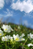 Spring Flowers. Bavaria, German Stock Image
