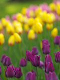 Spring flowers. Colorful tulips in the garden stock images