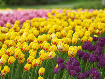 Spring flowers. Colorful tulips in the park stock photos