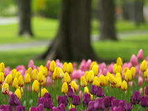 Spring flowers. Beautiful park in spring, tulips in foreground stock images