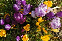 Spring flowers. Yellow and purple crocus Royalty Free Stock Images