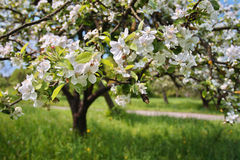 Spring flowers. Spring Time - an apple tree branch with flowers Royalty Free Stock Image