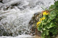Spring flowers. First spring flowers near the river (High Tatra, Slovakia Royalty Free Stock Photos