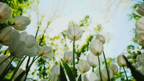 Spring flowers against the blue sky and the sun. White Tulips stock video footage
