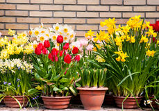 Spring flowers against a brick wall Royalty Free Stock Photos