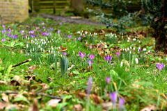 Spring flowers. Are already beautifully presented, snowdrops, the grass is green but here and there you can see brown leaves Stock Image