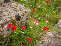 Spring flowers at Ancient Olimpia, Peloponnese, Greece Royalty Free Stock Photo