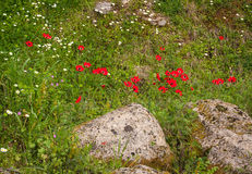Spring flowers at Ancient Olimpia, Peloponnese, Greece Royalty Free Stock Photography