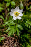 Spring flowers, anemone Stock Images