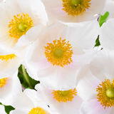 Spring flowers of Anemone sylvestris (snowdrop anemone) Royalty Free Stock Photo